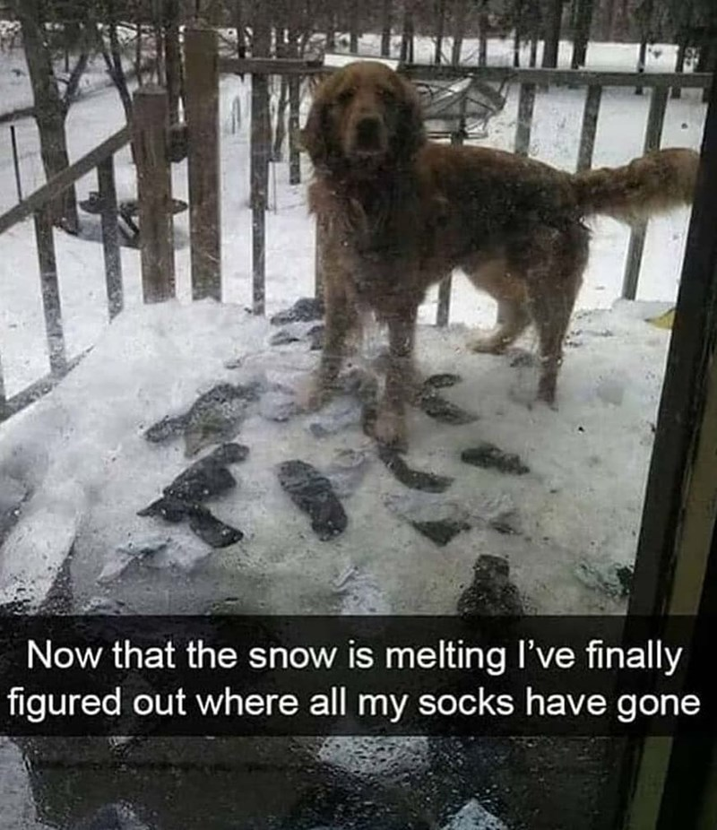 Dog - Now that the snow is melting I've finally figured out where all my socks have gone