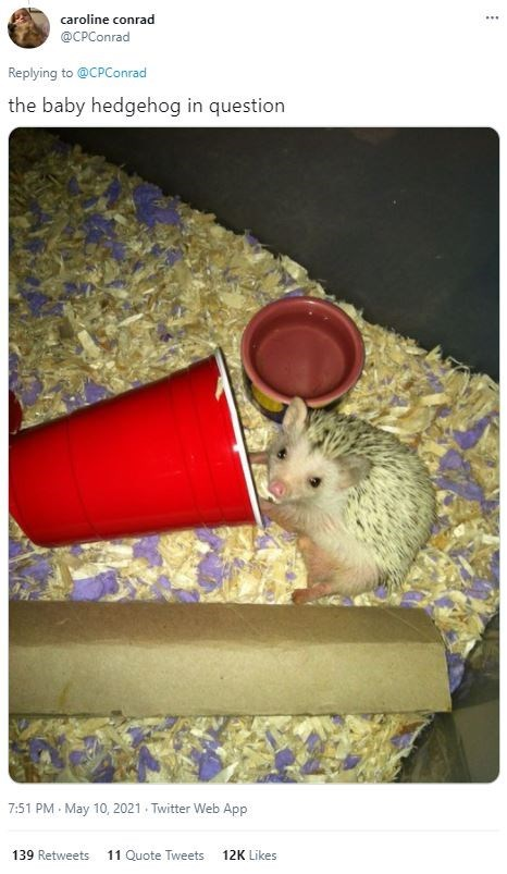 Rodent - caroline conrad ... @CPConrad Replying to @CPConrad the baby hedgehog in question 7:51 PM May 10, 2021 - Twitter Web App 139 Retweets 11 Quote Tweets 12K Likes
