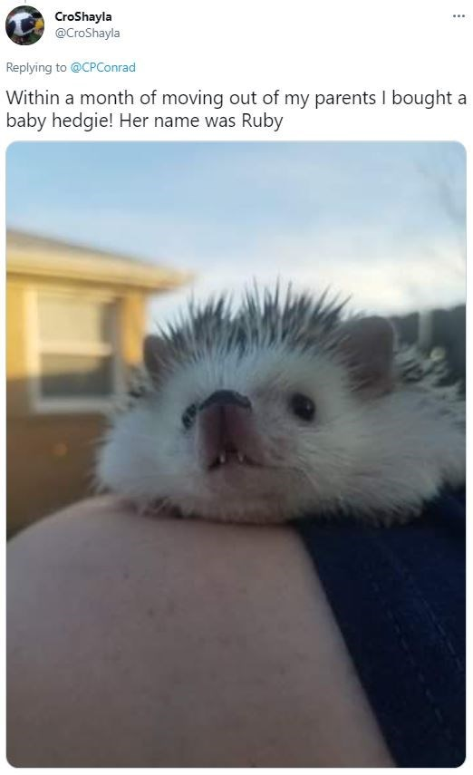 Sky - CroShayla @CroShayla .... Replying to @CPConrad Within a month of moving out of my parents I bought a baby hedgie! Her name was Ruby