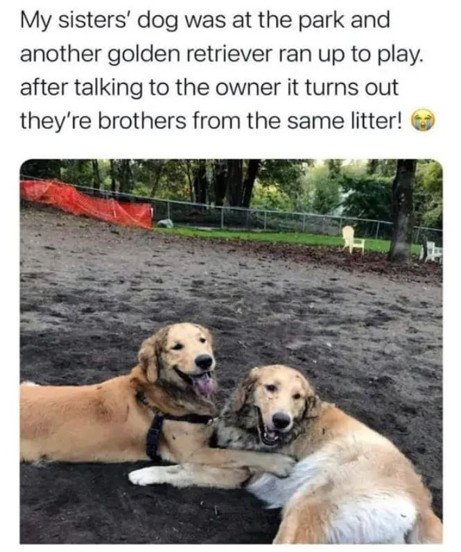 Dog - My sisters' dog was at the park and another golden retriever ran up to play. after talking to the owner it turns out they're brothers from the same litter!