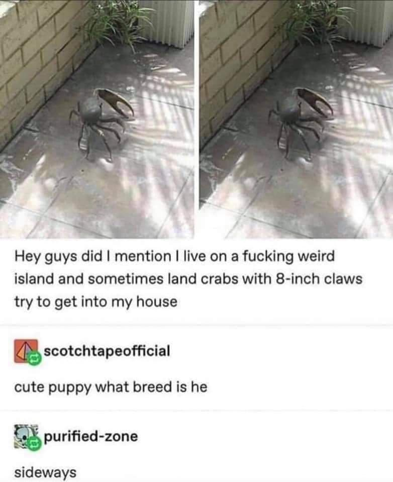 Road surface - Hey guys did I mention I live on a fucking weird island and sometimes land crabs with 8-inch claws try to get into my house scotchtapeofficial cute puppy what breed is he purified-zone sideways