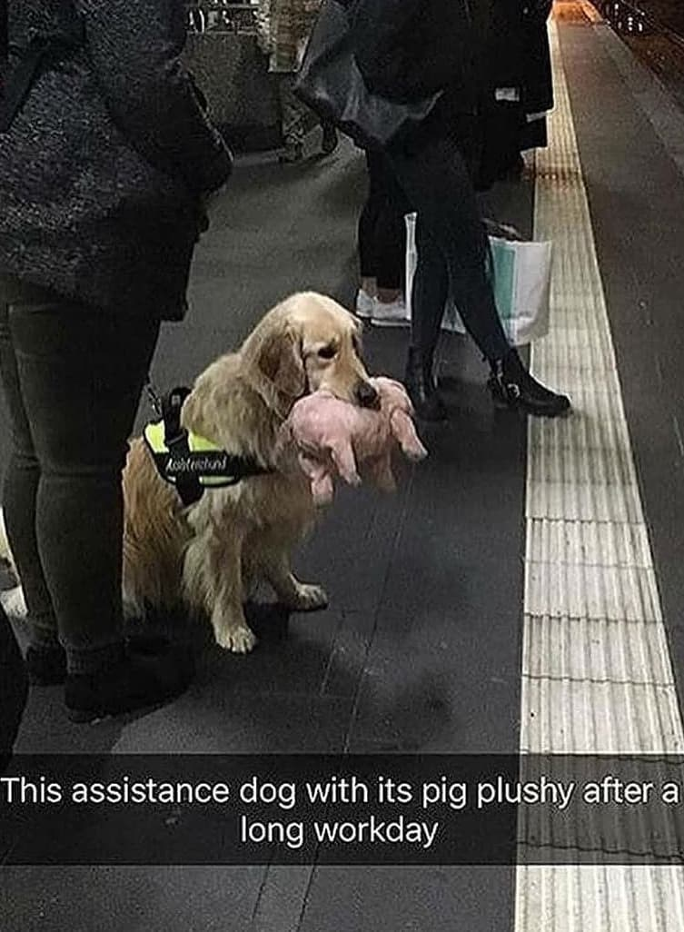 Footwear - Aohtestund This assistance dog with its pig plushy after a long workday