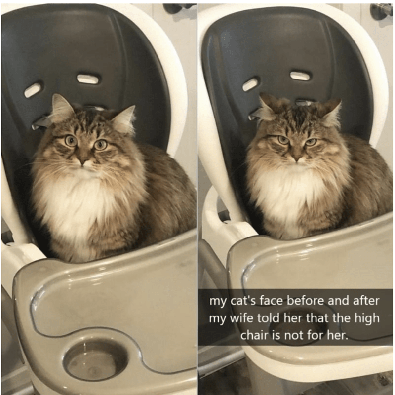 Cat - my cat's face before and after my wife told her that the high chair is not for her.