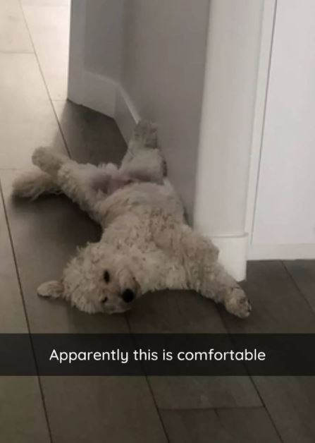 Dog - Apparently this is comfortable