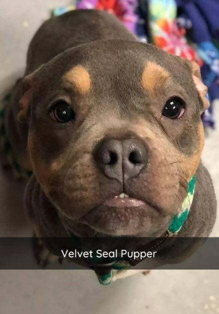 Dog - Velvet Seal Pupper
