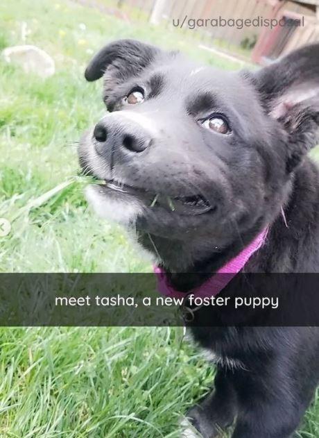 Dog - u/garabagedispdel meet tasha, a new foster puppy