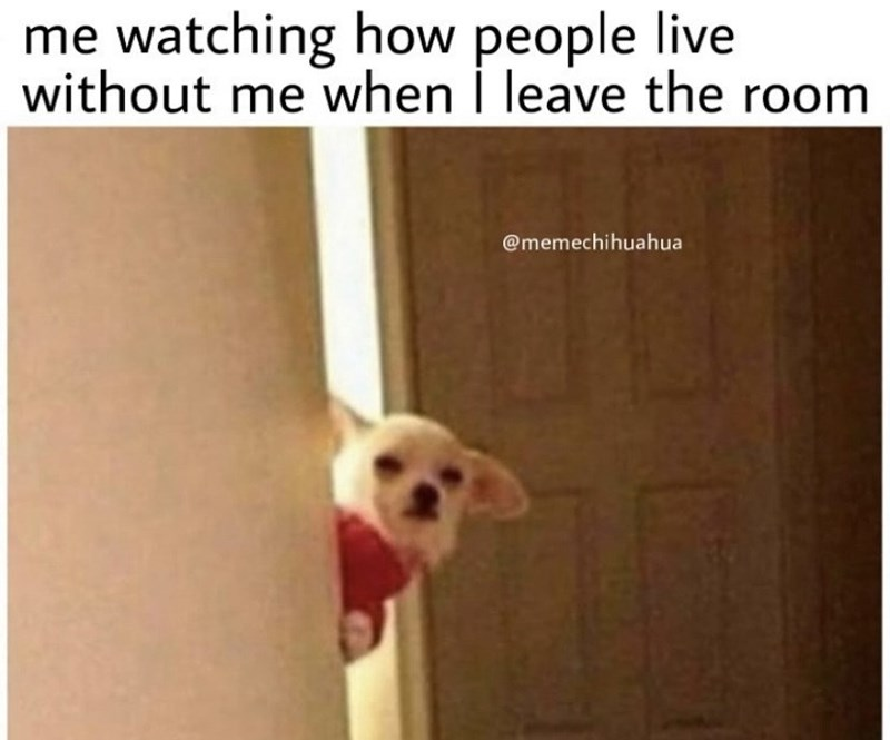 Dog - me watching how people live without me when I leave the room @memechihuahua