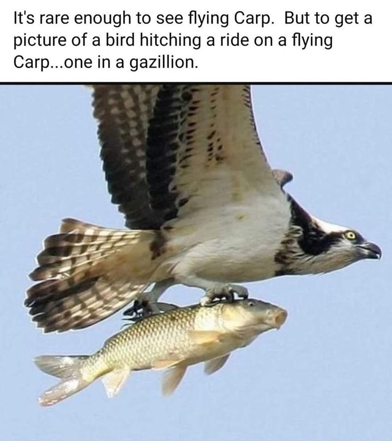 Bird - It's rare enough to see flying Carp. But to get a picture of a bird hitching a ride on a flying Carp..one in a gazillion.