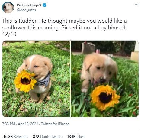 Dog - WeRateDogs @dog_rates This is Rudder. He thought maybe you would like a sunflower this morning. Picked it out all by himself. 12/10 7:33 PM Apr 12, 2021 - Twitter for iPhone 16.8K Retweets 872 Quote Tweets 134K Likes