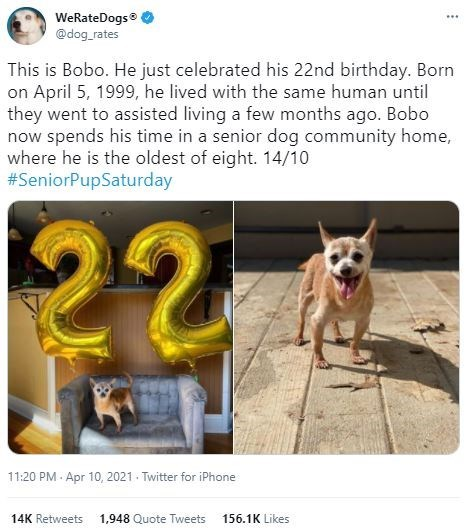 Dog - WeRateDogs @dog_rates ... This is Bobo. He just celebrated his 22nd birthday. Born on April 5, 1999, he lived with the same human until they went to assisted living a few months ago. Bobo now spends his time in a senior dog community home, where he is the oldest of eight. 14/10 #SeniorPupSaturday 22 11:20 PM - Apr 10, 2021 - Twitter for iPhone 14K Retweets 1,948 Quote Tweets 156.1K Likes