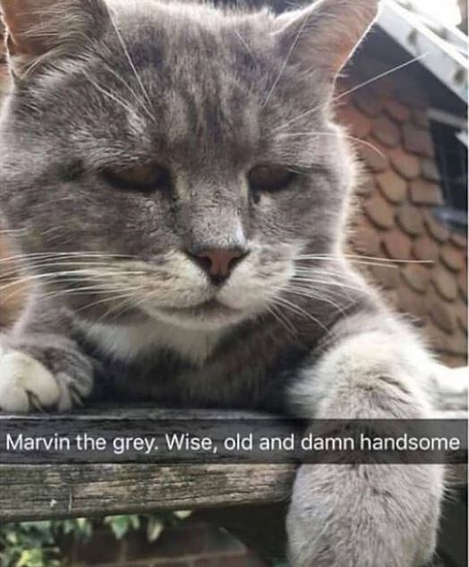 Cat - Marvin the grey. Wise, old and damn handsome