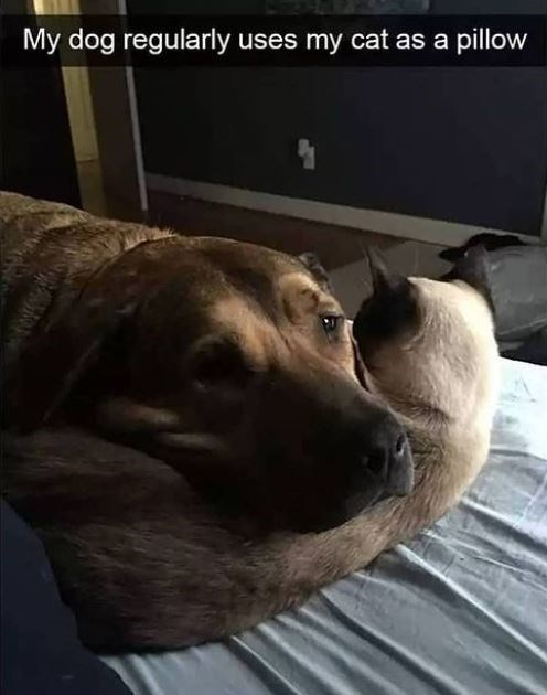 Dog - My dog regularly uses my cat as a pillow