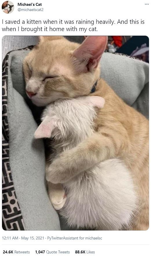 Cat - Michael's Cat @michaelscat2 I saved a kitten when it was raining heavily. And this is when I brought it home with my cat. 12:11 AM May 15, 2021 - PyTwitterAssistant for michaelsc 24.6K Retweets 1,047 Quote Tweets 88.6K Likes
