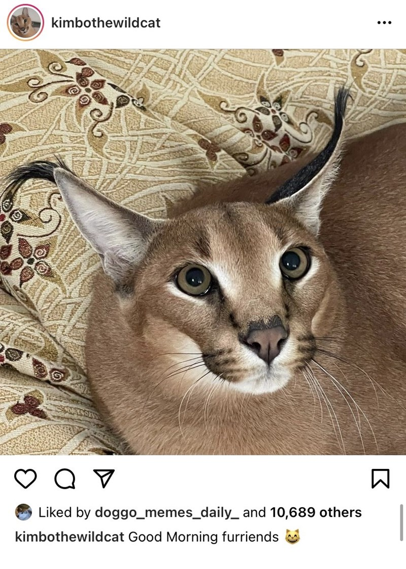 Cat - kimbothewildcat ... Liked by doggo_memes_daily_ and 10,689 others kimbothewildcat Good Morning furriends