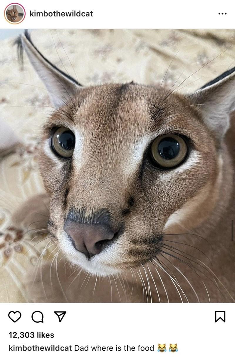 Cat - kimbothewildcat 12,303 likes kimbothewildcat Dad where is the food