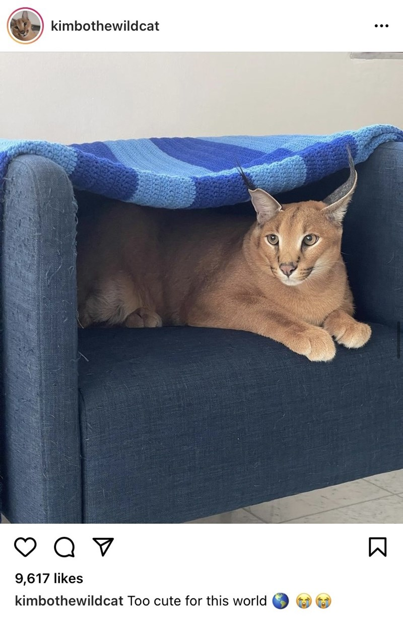 Cat - kimbothewildcat 9,617 likes kimbothewildcat Too cute for this world
