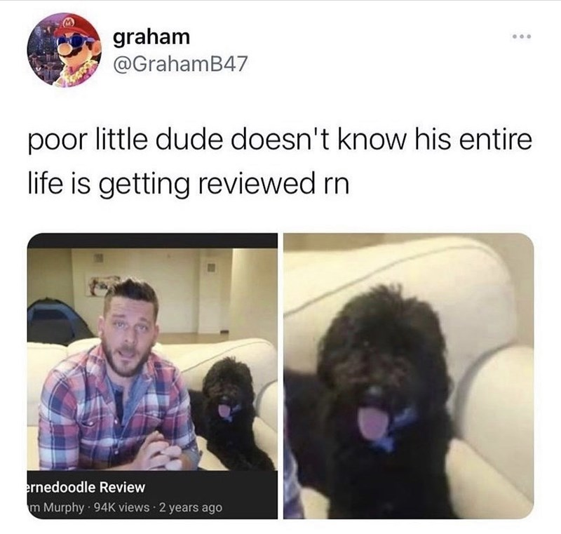 Dog - graham @GrahamB47 poor little dude doesn't know his entire life is getting reviewed rn ernedoodle Review m Murphy · 94K views 2 years ago
