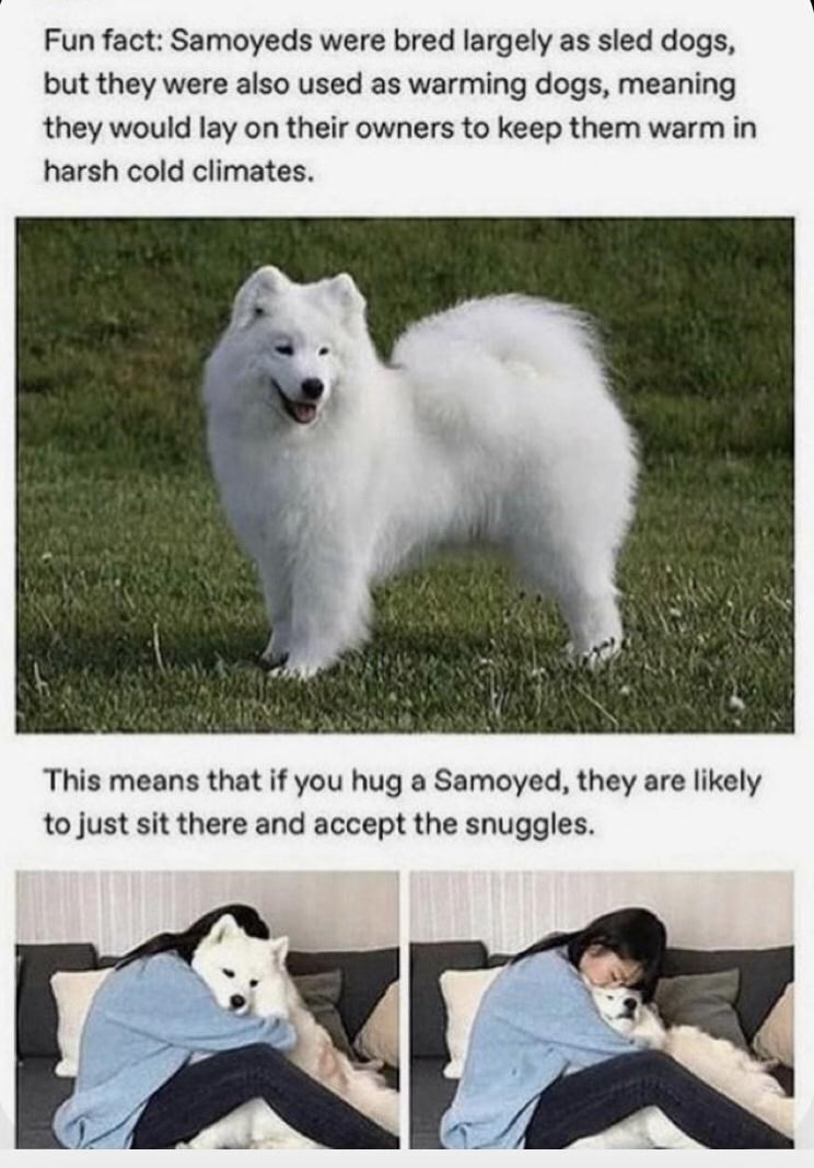 Photograph - Fun fact: Samoyeds were bred largely as sled dogs, but they were also used as warming dogs, meaning they would lay on their owners to keep them warm in harsh cold climates. This means that if you hug a Samoyed, they are likely to just sit there and accept the snuggles.