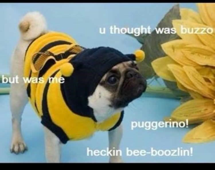 Dog - u thought was buzzo but was me puggerino! heckin bee-boozlin!