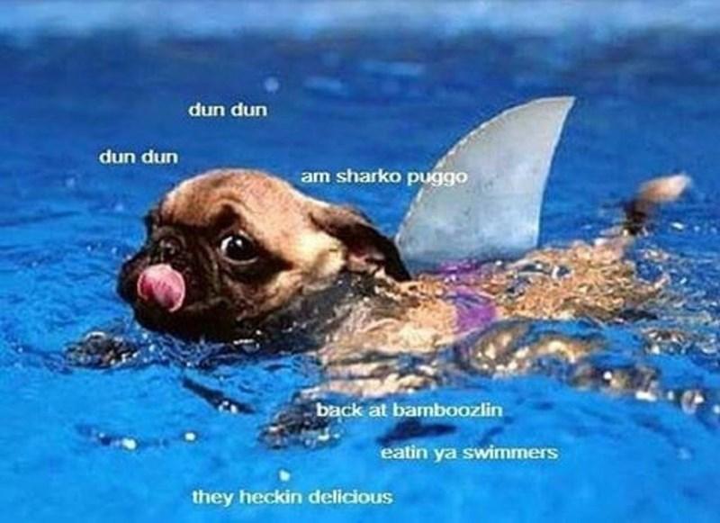 Water - dun dun dun dun am sharko puggo back at bamboozlin eatin ya swimmers they heckin delicious