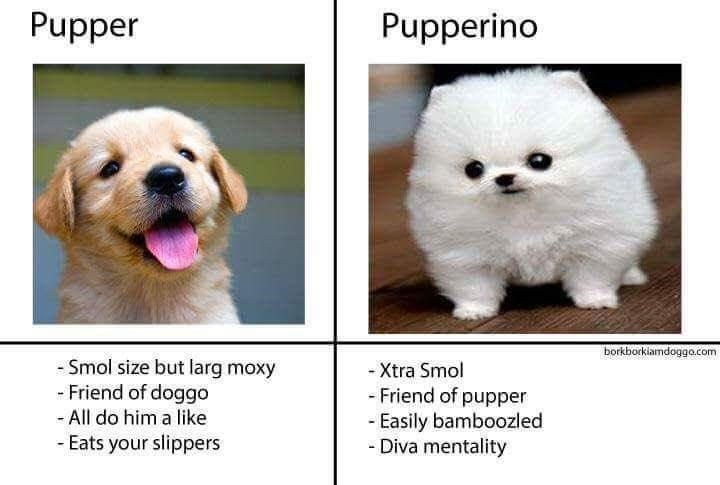 Nose - Pupper Pupperino borkborkiamdoggo.com - Smol size but larg moxy - Friend of doggo - Xtra Smol - Friend of pupper - Easily bamboozled - Diva mentality - All do him a like - Eats your slippers