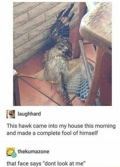 """Organism - laughhard This hawk came into my house this morning and made a complete fool of himself thekumazone that face says """"dont look at me"""""""