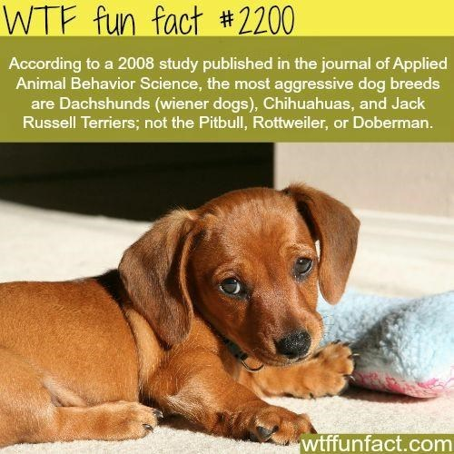 Brown - WTF fun fact #2200 According to a 2008 study published in the journal of Applied Animal Behavior Science, the most aggressive dog breeds are Dachshunds (wiener dogs), Chihuahuas, and Jack Russell Terriers; not the Pitbull, Rottweiler, or Doberman. wtffunfact.com