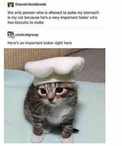 Cat - theweirdwideweb the only person who is allowed to poke my stomach is my cat because he's a very important baker who has biscuits to make coolcatgroup Here's an important baker right here