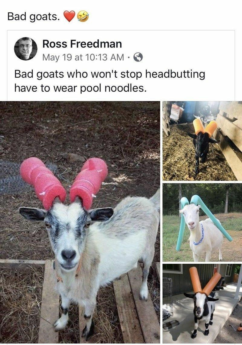 Dog - Bad goats. Ross Freedman May 19 at 10:13 AM • Bad goats who won't stop headbutting have to wear pool noodles.