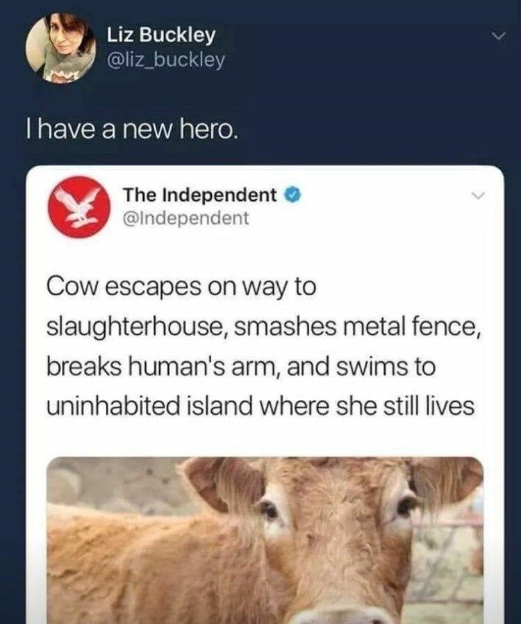 Product - Liz Buckley @liz_buckley Thave a new hero. The Independent @Independent Cow escapes on way to slaughterhouse, smashes metal fence, breaks human's arm, and swims to uninhabited island where she still lives