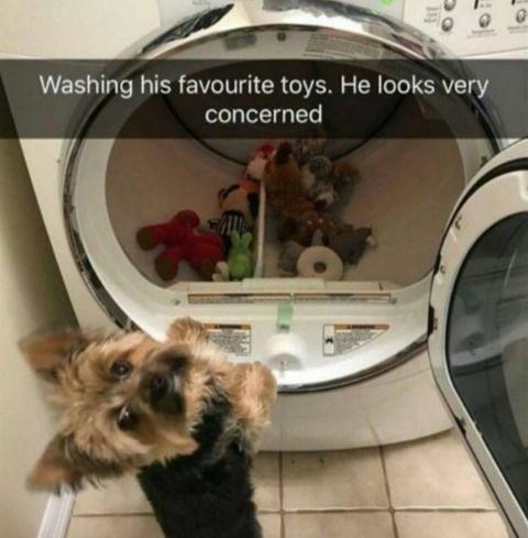 Dog - Washing his favourite toys. He looks very concerned