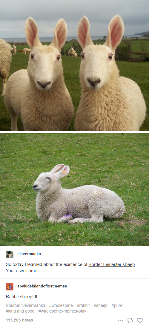 Photograph - clevermanka So today I learned about the existence of Border Leicester sheep. You're welcome. spykidsislandoflostmemes Rabbit sheep!!! Source: clevermanka #wholesome #rabbit #sheep #pure #kind and good #wholesome-memes-only 115,205 notes