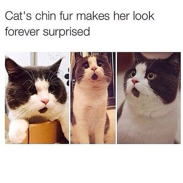 Cat - Cat's chin fur makes her look forever surprised