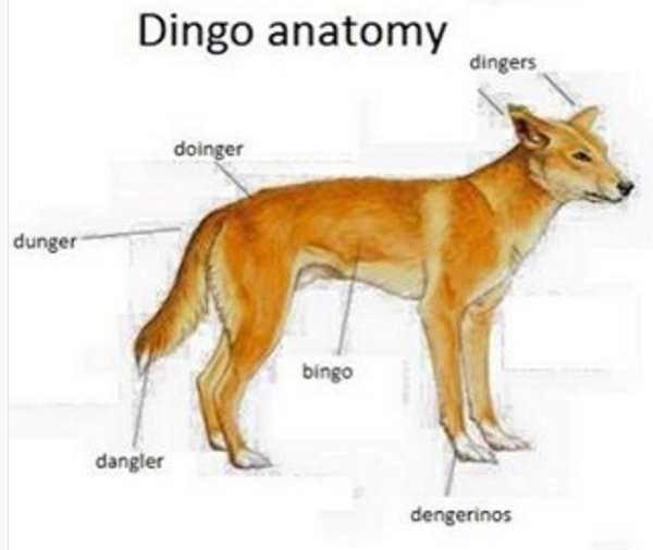 Carnivore - Dingo anatomy dingers doinger dunger bingo dangler dengerinos