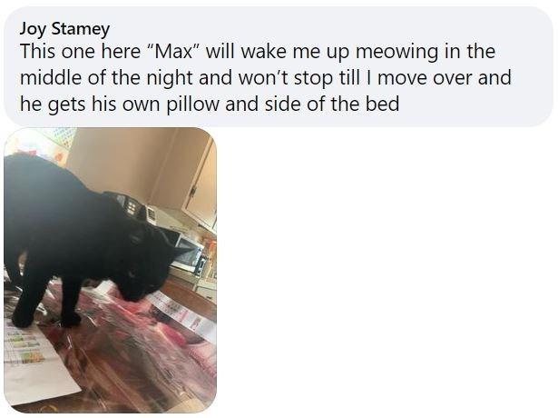"""Organism - Joy Stamey This one here """"Max"""" will wake me up meowing in the middle of the night and won't stop till I move over and he gets his own pillow and side of the bed"""