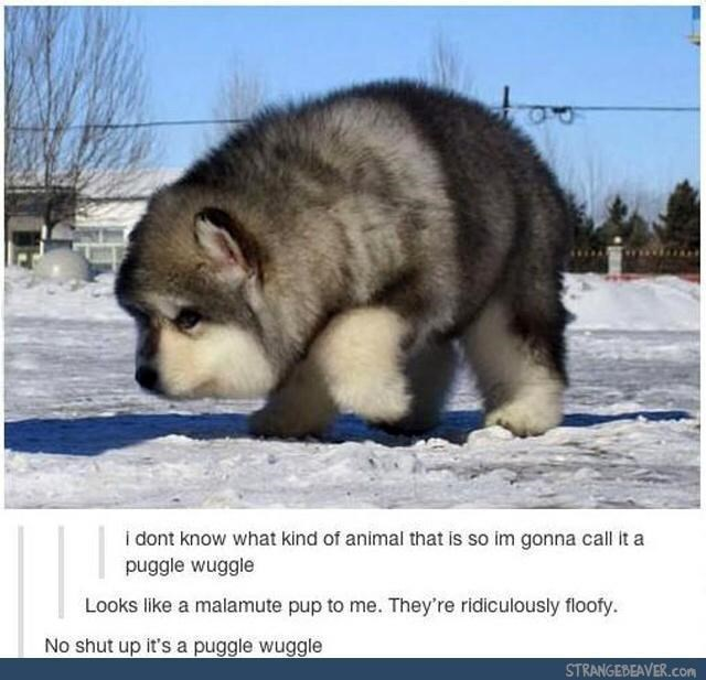 Sky - i dont know what kind of animal that is so im gonna call it a puggle wuggle Looks like a malamute pup to me. They're ridiculously floofy. No shut up it's a puggle wuggle STRANGEBEAVER.com