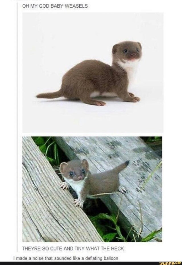 Vertebrate - OH MY GOD BABY WEASELS THEYRE SO CUTE AND TINY WHAT THE HECK I made a noise that sounded like a deflating balloon ifunny.co