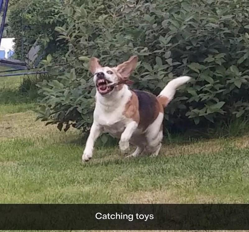 Dog - Catching toys