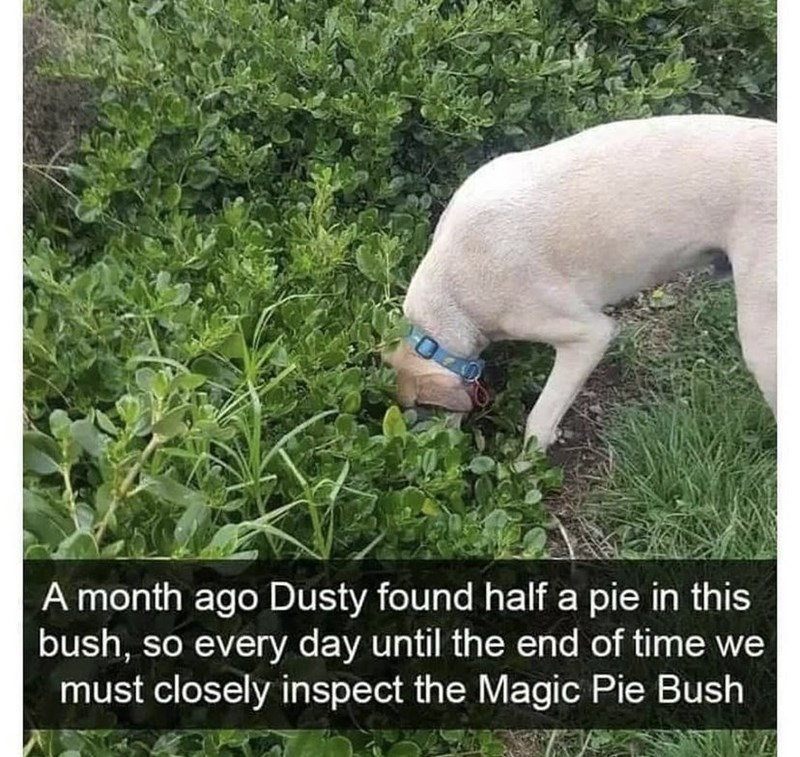 Dog - A month ago Dusty found half a pie in this bush, so every day until the end of time we must closely inspect the Magic Pie Bush