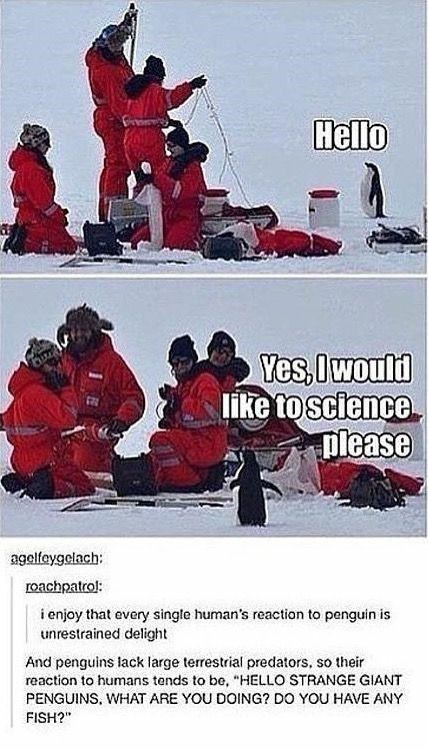"""Sleeve - Hello Yes, Iwould like to science please agelfeygelach: roachpatrol: i enjoy that every single human's reaction to penguin is unrestrained delight And penguins lack large terrestrial predators, so their reaction to humans tends to be, """"HELLO STRANGE GIANT PENGUINS, WHAT ARE YOU DOING? DO YOU HAVE ANY FISH?"""""""