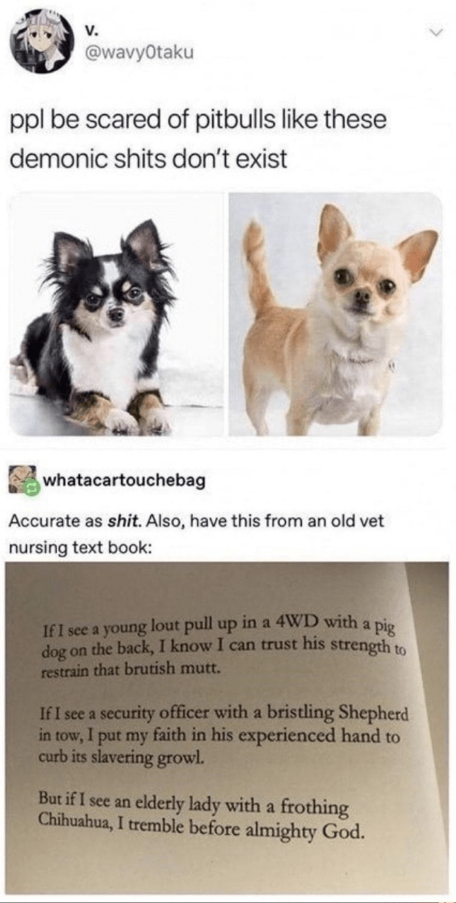 Dog - V. @wavyOtaku ppl be scared of pitbulls like these demonic shits don't exist whatacartouchebag Accurate as shit. Also, have this from an old vet nursing text book: If I see a young lout pull up in a 4WD with a pio dog on the back, I know I can trust his strength to restrain that brutish mutt. If I see a security officer with a bristling Shepherd in tow, I put my faith in his experienced hand to curb its slavering growl. But if I see an elderly lady with a frothing Chihuahua, I tremble befo