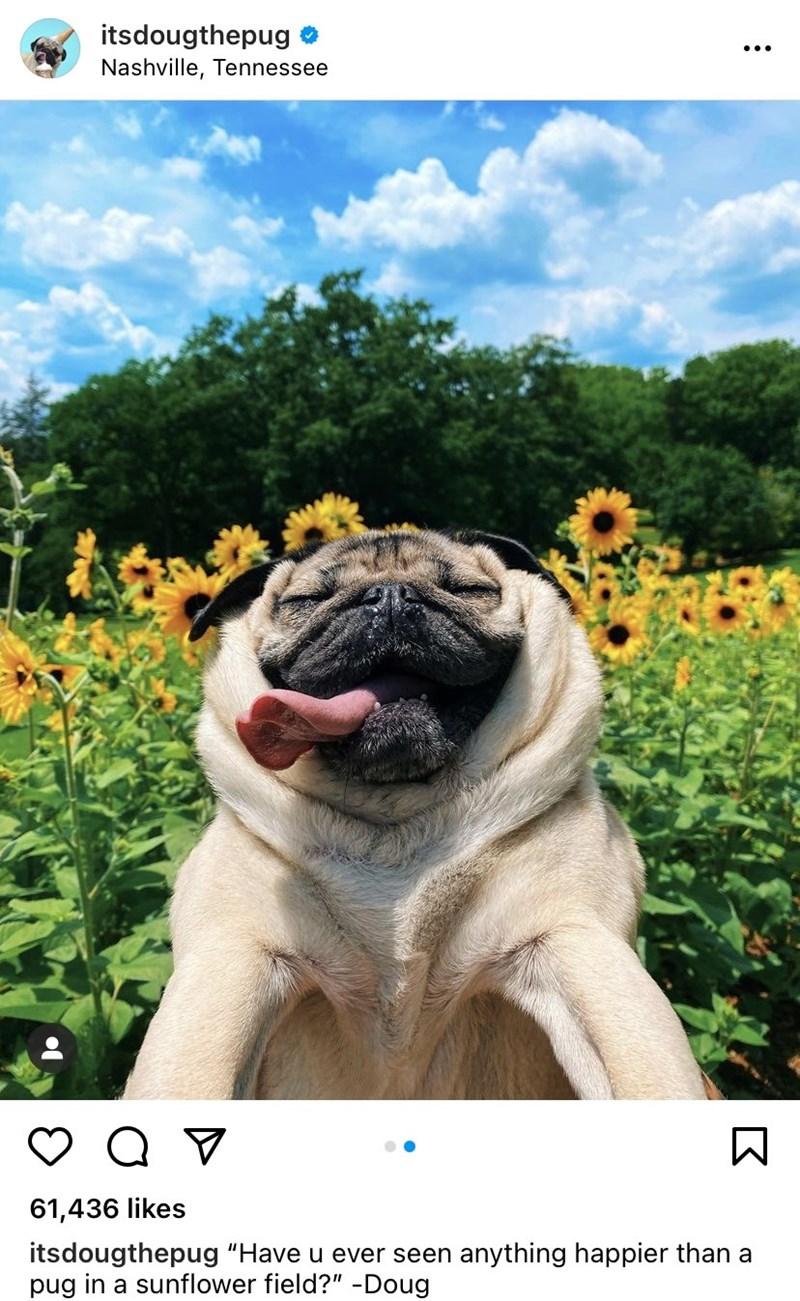 "Flower - itsdougthepug • Nashville, Tennessee 61,436 likes itsdougthepug ""Have u ever seen anything happier than a pug in a sunflower field?"" -Doug"