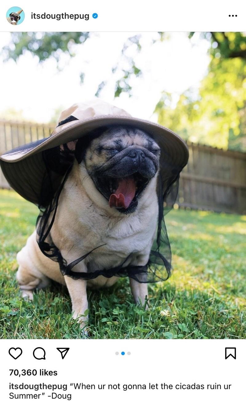 "Pug - itsdougthepug 70,360 likes itsdougthepug ""When ur not gonna let the cicadas ruin ur Summer"" -Doug"