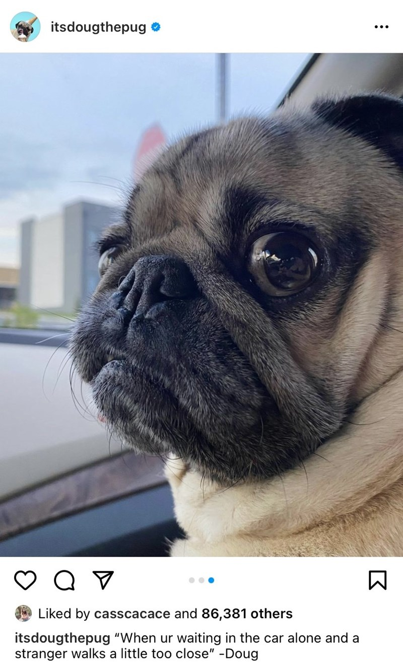 """Pug - itsdougthepug Liked by casscacace and 86,381 others itsdougthepug """"When ur waiting in the car alone and a stranger walks a little too close"""" -Doug"""