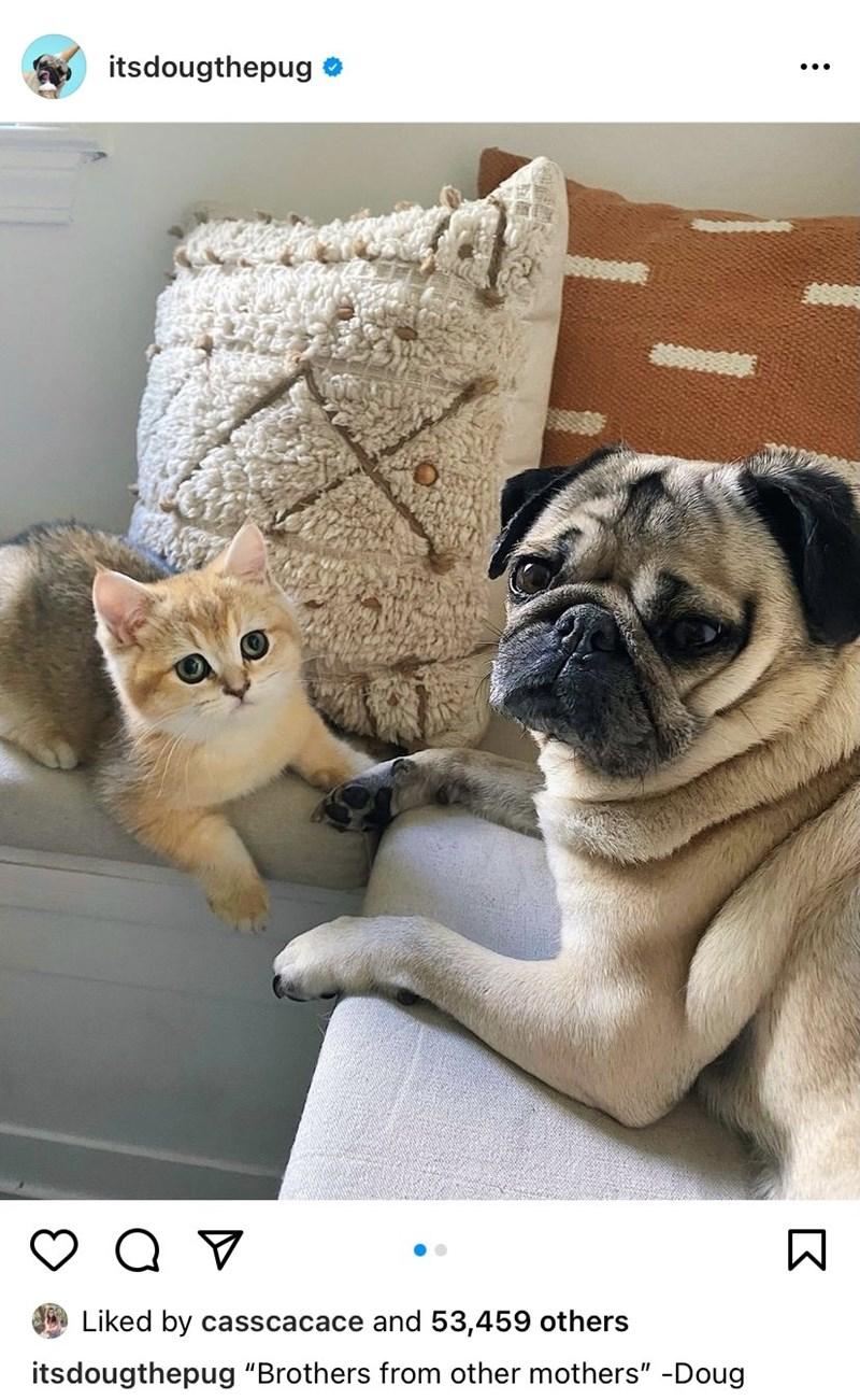 "Pug - itsdougthepug Liked by casscacace and 53,459 others itsdougthepug ""Brothers from other mothers"" -Doug"