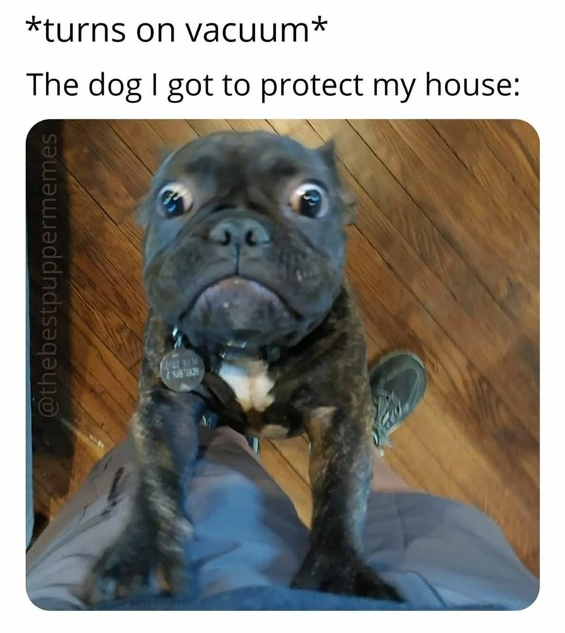 Dog - *turns on vacuum* The dog I got to protect my house: @thebestpuppermemes