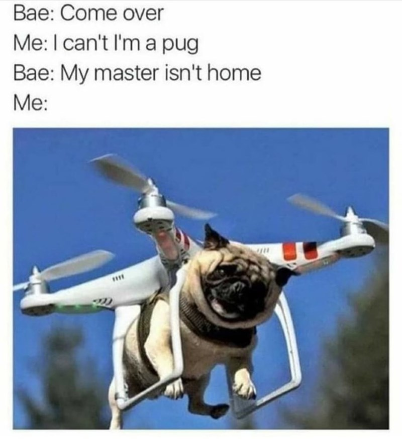Dog - Bae: Come over Me:I can't I'm a pug Bae: My master isn't home Me: