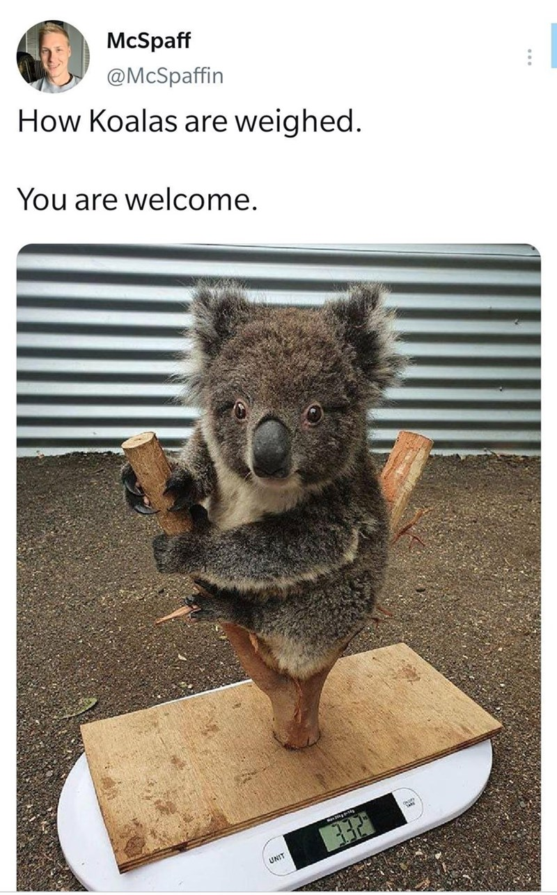 Koala - McSpaff @McSpaffin How Koalas are weighed. You are welcome. OND UNIT