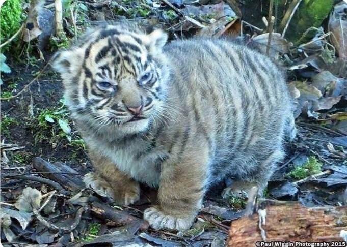 Bengal tiger - OPaul Wiggin Photography 2015