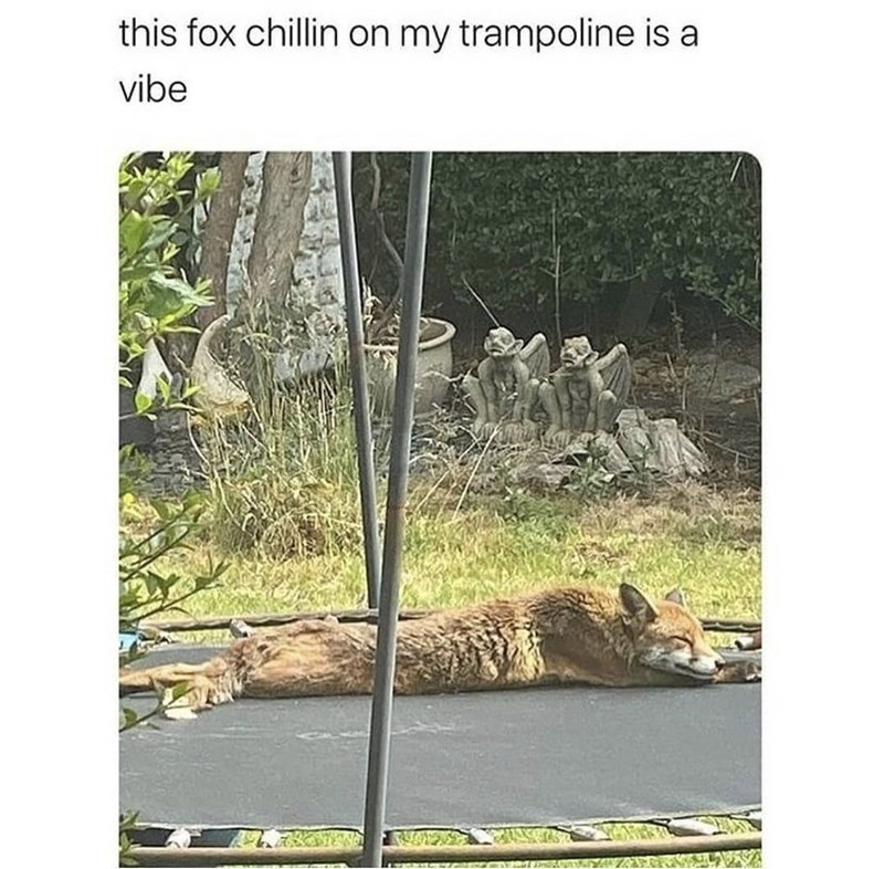 Plant - this fox chillin on my trampoline is a vibe